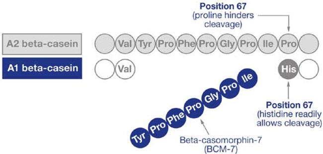 A1 casein vs A2 casein structure