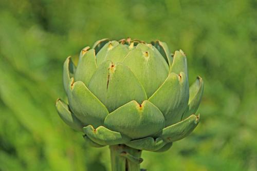 globe-artichoke