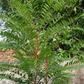 Long Jack (Eurycoma longifolia) Side Effects
